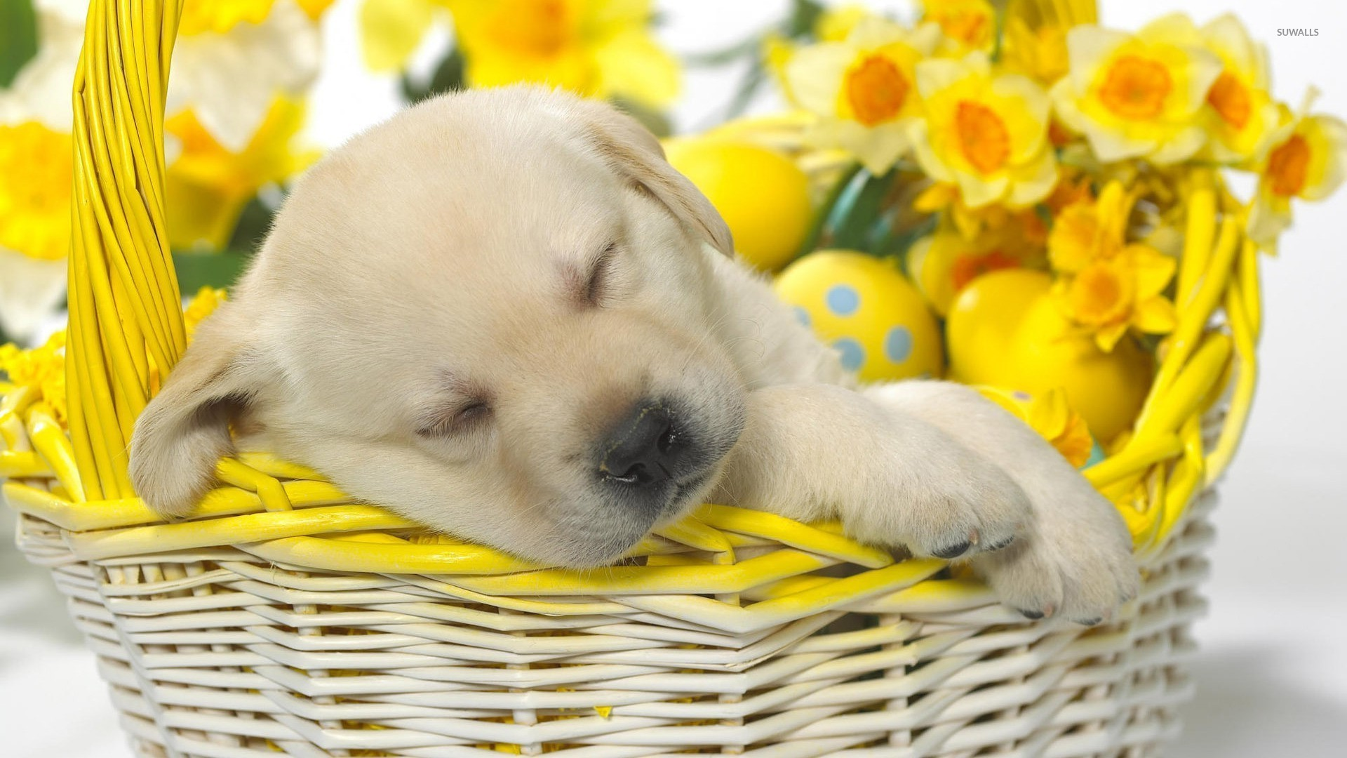 Cute Puppies Images Sleeping Golden Retriever HD Wallpaper And Background Photos