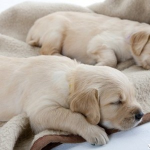 sleeping golden retriever tuta