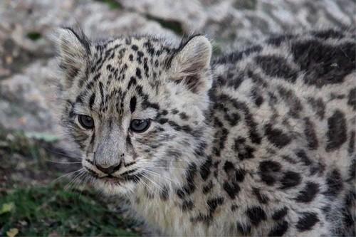 Cherl12345 Tamara Wallpaper Entitled Baby Snow Leopard