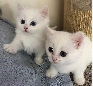 Two Adorable gattini