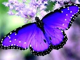 Beautiful purple farfalla