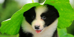 A B C (adorable border collies)