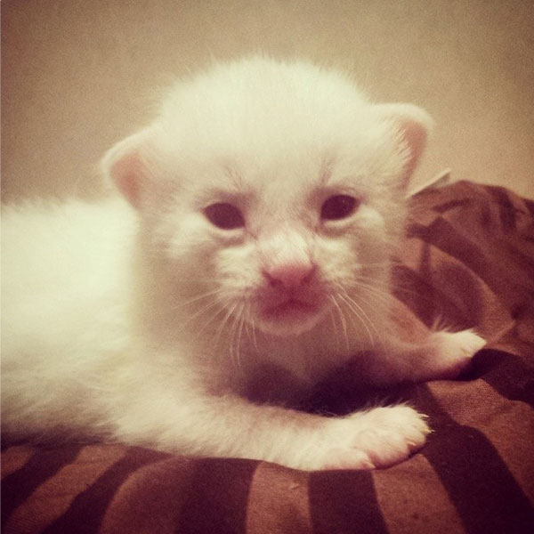 Kittens Images Albino Kitten Wallpaper And Background Photos 41492798