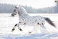 Appaloosa - horses photo