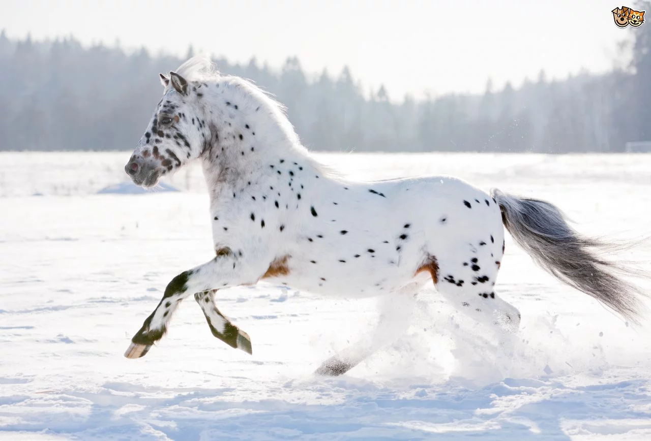 horses images appaloosa hd wallpaper and background photos 41459116