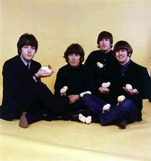 Beatles with baby chicks