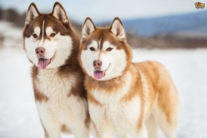 Beautiful Siberian Huskies