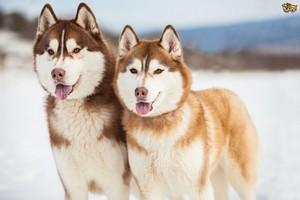 Beautiful Siberian Huskies