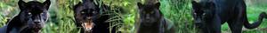 Black panther, harimau kumbang banner