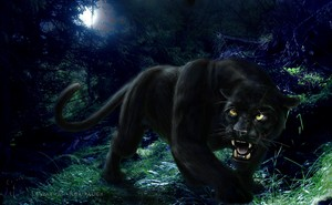 Black panther, harimau kumbang