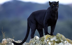 Black con beo, panther