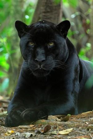 Black pantera, panther
