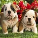 Bull Dog Pups - dogs icon