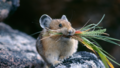 Chinchilla - rodents wallpaper
