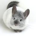 Chinchilla - rodents photo