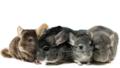 Chinchillas - rodents photo