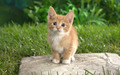 Cute Little Kitten  - kittens wallpaper