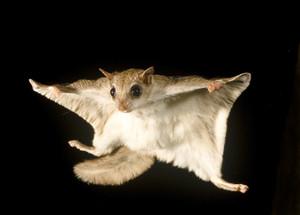 Flying リス
