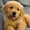 개 사진 called Golden Retriever Pup