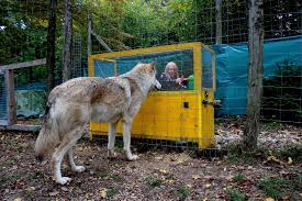 Human Interaction With Wolves