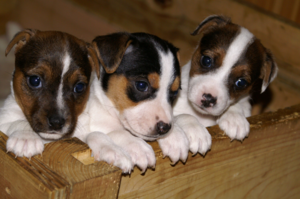 Jack Russell chiots