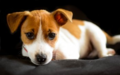 Jack Russell - dogs photo