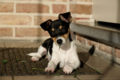 Jack Russell - jack-russell-terriers photo