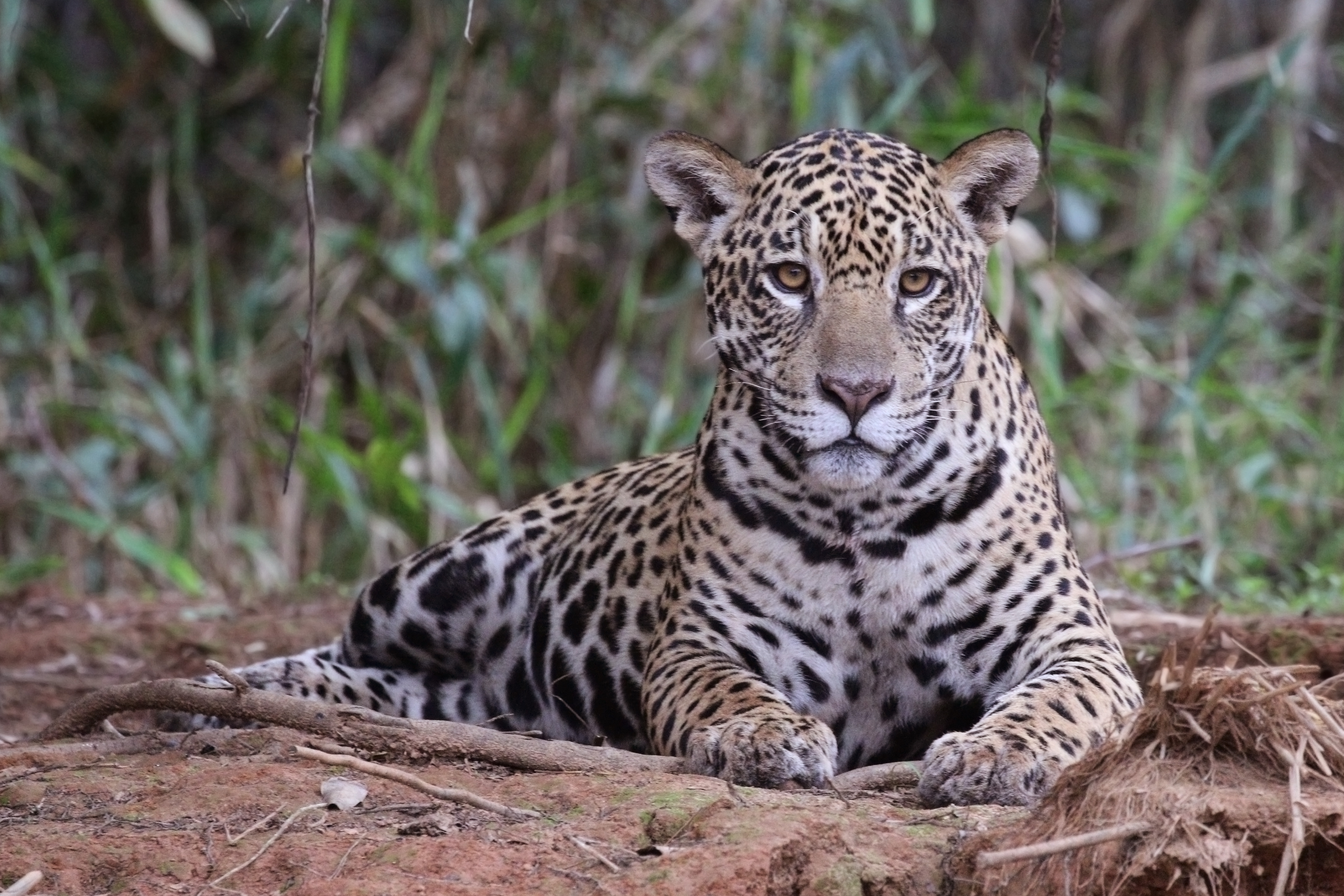 Nocturnal Animals Images Jaguar HD Wallpaper And Background Photos