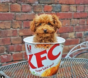 KDC...Kentucky Dog Chicken...it's finger lickin' good