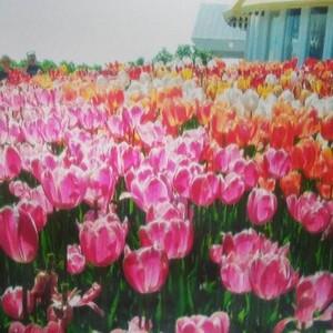 Mackinac Tulips