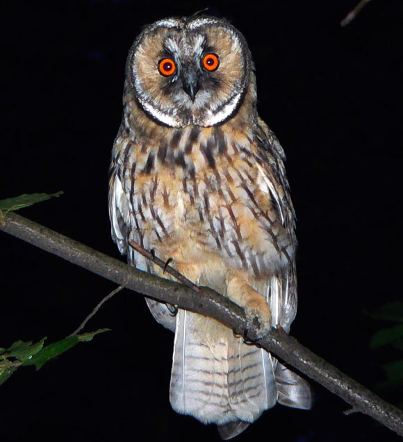 Image of: Preschool Nocturnal Animals Images Night Owl Wallpaper And Background Photos Fanpop Nocturnal Animals Images Night Owl Wallpaper And Background Photos