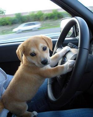 Uber cún yêu, con chó con driver