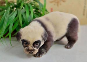 panda cún yêu, con chó con