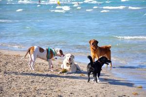 ساحل سمندر, بیچ dogs