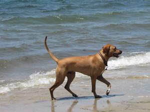 пляж, пляжный Собаки