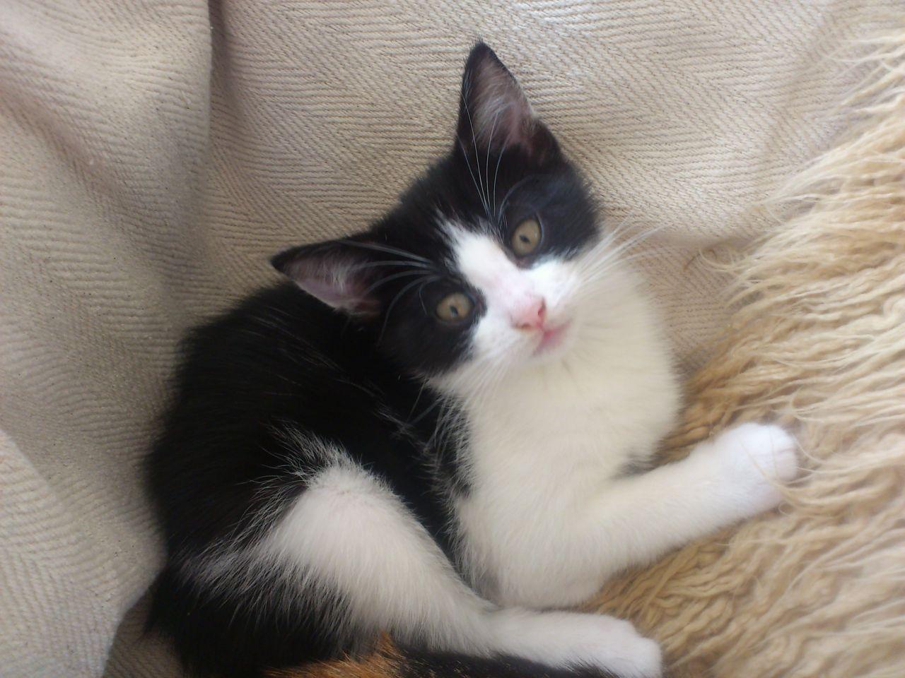 Black And White Kittens Kittens Photo 41499313 Fanpop