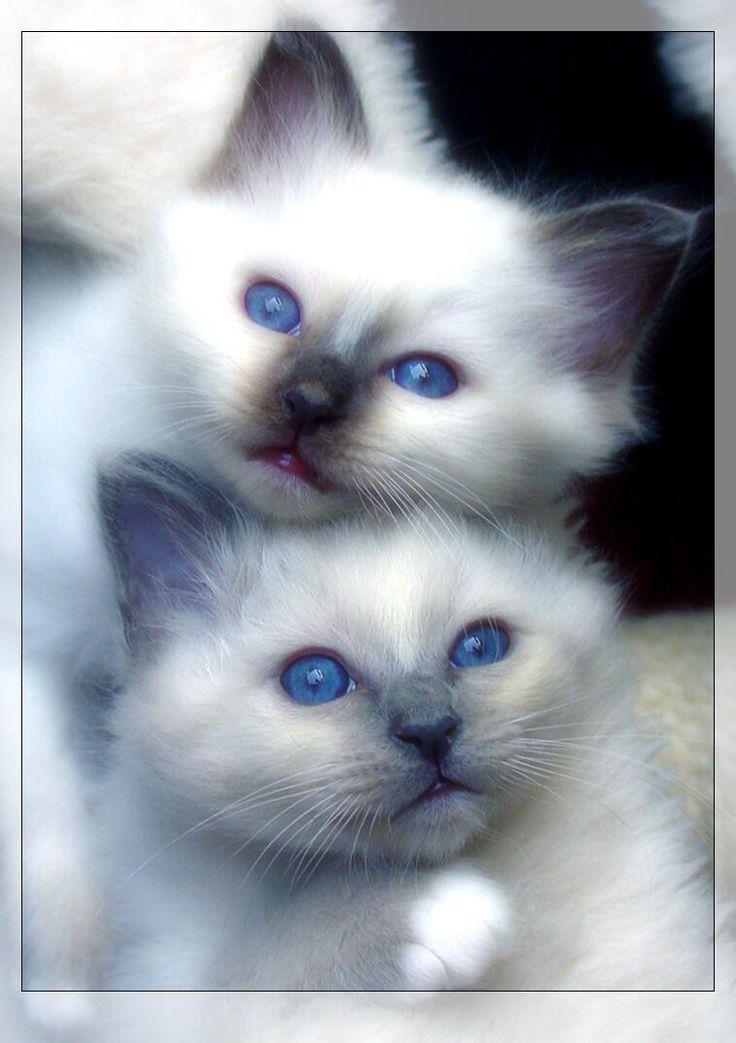 Blueeyed gingerandwhite kitten on blue background photo uk