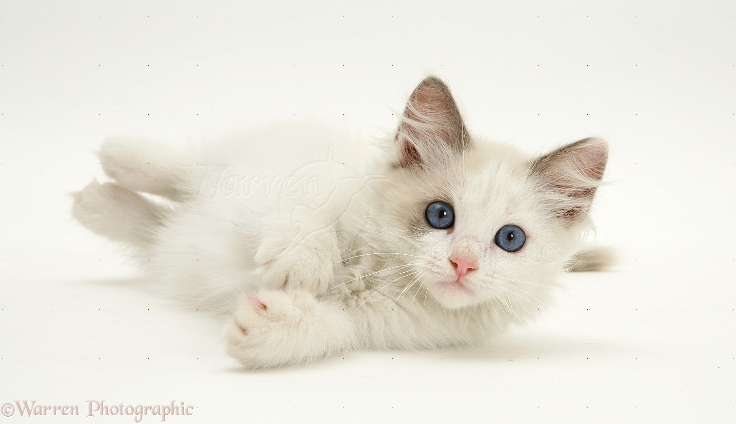 Cute Kittens images blue eyed kitties HD wallpaper and background