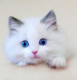 blue eyed kitties
