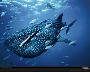 blue baleine requin skerry