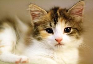 calico anak kucing
