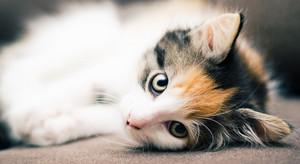 calico gatitos