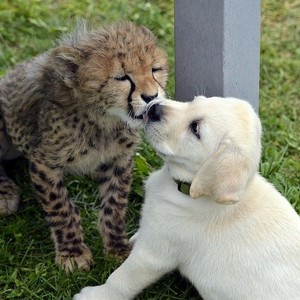 cheetah cubs and their canine buddy