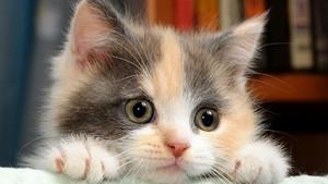 cute calico kitties