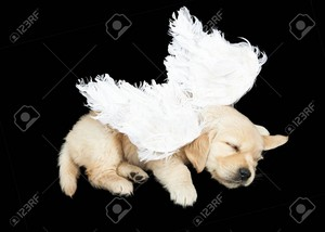 cute golden retriever cachorritos wearing costumes