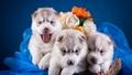 cute puppies - greyswan618 wallpaper