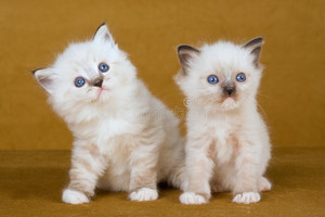 cute ragdoll kittens