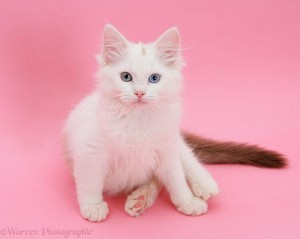 cute ragdoll 子猫