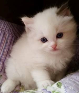 cute ragdoll Kätzchen