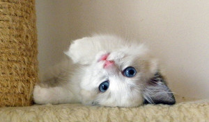 cute ragdoll mga kuting